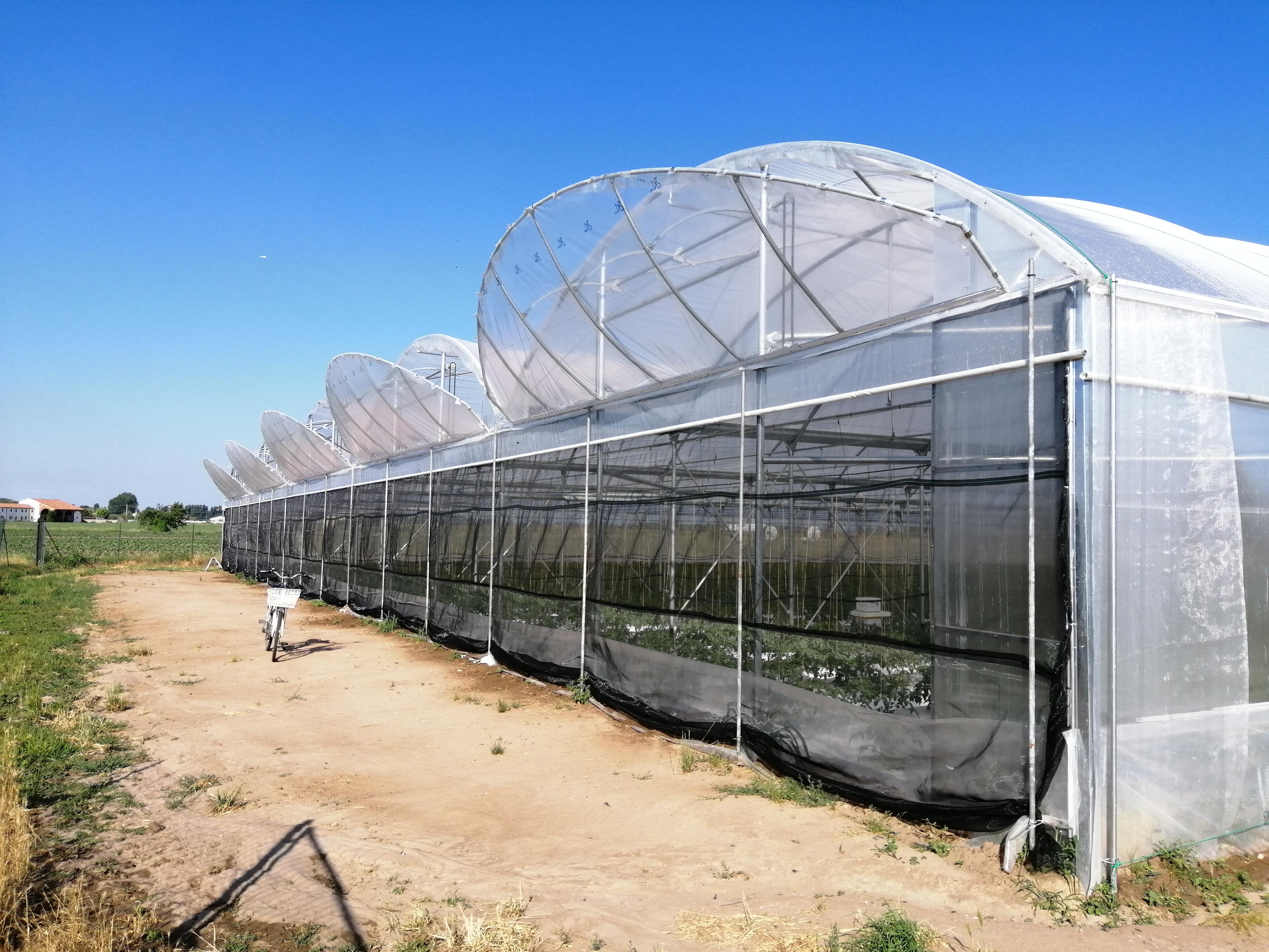 serra per la produzione di pomodoro