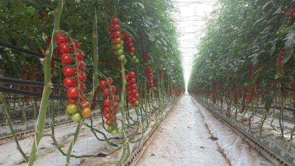 serre per pomodori