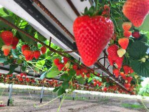 coltivazione fuori suolo - fragole
