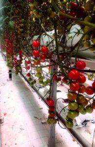 coltivazione fuori suolo - pomodori